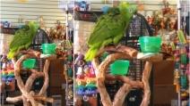 Il pappagallo canta la sua canzone preferita, l'acuto vi farà sbellicare!