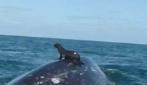 L'incredibile momento in cui una foca cavalca una balena