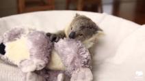 La cucciola di koala orfana, inseparabile dal peluche che le ricorda la sua mamma