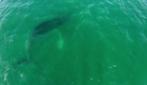 Panama, il drone cattura immagini spettacolari delle balene