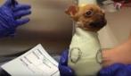 Fanno una strana fasciatura alla cagnolina: due settimane dopo ecco cosa succede