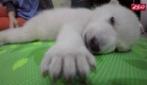 Cucciolo di orso polare abbandonato dalla madre: i volontari dello zoo gli salvano la vita