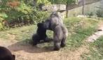 La lite tra i due gorilla nello zoo: immagini cruente davanti ai visitatori