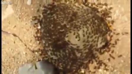 Le formiche si muovono in cerchio, il loro vortice è ipnotico