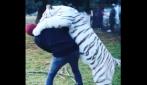 Tigre bianca salta addosso ad Hamilton: ecco la reazione del pilota