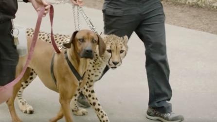 Il ghepardo nasce con un'anomalia alle zampe: fondamentale l'intervento del suo amico cane