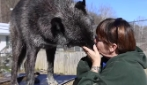 Dà un bacio ad un lupo: non crederai a quello che succede