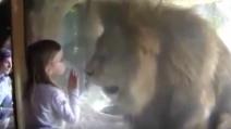La piccola dà un bacino sul vetro, ecco come reagisce il leone