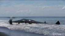 Bali, gigantesco capodoglio trovato morto sulla riva