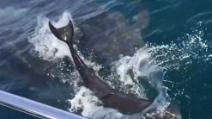 Il delfino partorisce davanti ai turisti: ecco cosa fa la mamma per aiutare il suo piccolo