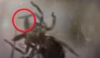 """La straordinaria velocità del ragno """"botola"""" : cattura la preda in 0,1 millisecondi"""