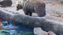 Il corvo è in difficoltà in acqua: il grande orso lo salva dall'annegamento