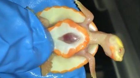 La tartaruga albina ha una malformazione: è possibile vedere il suo cuoricino battere