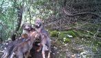 Cuccioli di lupo nati in Friuli Venezia Giulia: non accadeva da 100 anni