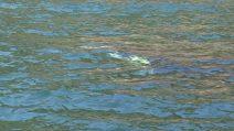 Mamma orca trascina per giorni il cucciolo morto dopo il parto