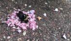 Formiche organizzano il 'funerale' al bombo: le immagini del curioso rito coi petali