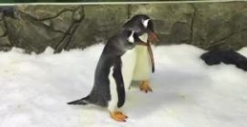Sphen e Magic, la coppia di pinguini gay che cova un uovo vero