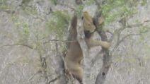 Il leopardo è sull'albero a mangiare la sua preda, ma quando il leone lo vede inizia la sfida
