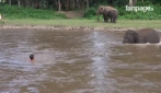 Elefantinho mergulha no rio para salvar homem