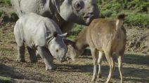 Baby rinoceronte fa il suo debutto tra gli adulti insieme alla mamma: immagini dolcissime