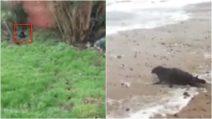 Trova una foca nel giardino di casa: l'animale salvato e liberato in mare