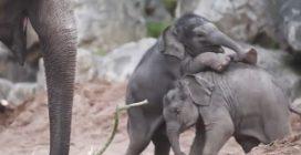 Gli elefantini giocano tra gli adulti: le dolcissime immagini dallo zoo di Chester