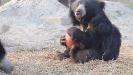 Maltrattato da cucciolo, l'orso Suri di nuovo felice: si diverte con il suo giocattolo preferito