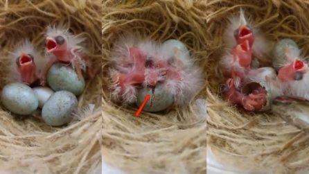 Le piccolissime uova stanno per schiudersi: un vero miracolo della natura