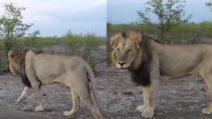 Mai prendere in giro un leone