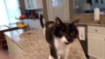 Il fake del gatto baritono: patologia o doppiaggio?