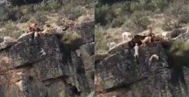 Branco di cani precipita in un burrone mentre dà la caccia al cervo: le immagini terribili