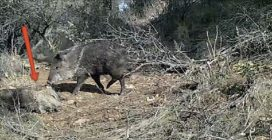An 8-year-old boy films wild boars and makes a scientific discovery