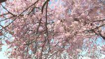 Lo spettacolo dei ciliegi in fiore a Washington