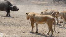 Leoni contro bufali: il terribile faccia a faccia ha un finale inaspettato