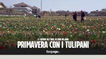 """In volo sul campo di tulipani più grande d'Italia: """"Sono il simbolo della primavera"""""""