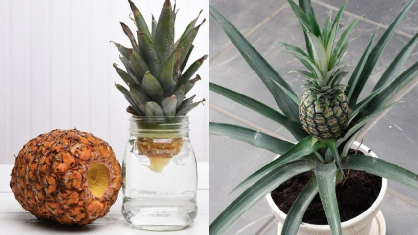 I segreti dell'Ananas 1: come coltivarlo in casa? Usa il ...