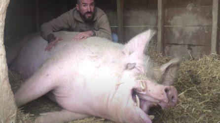 Ramón,il maiale felice che ride quando viene accarezzato