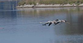 La danza dei fenicotteri sul lago di Fogliano: le splendide immagini