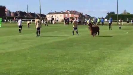 """Una """"particolarissima"""" invasione durante una partita in Australia: l'alpaca corre tra i calciatori"""