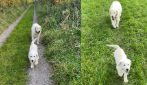 Il cane non vedente ha trovato la sua guida: un cucciolo di pochi mesi ora non lo lascia più