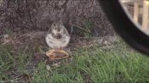 Lo scoiattolo golodo che ama i panini del fast food