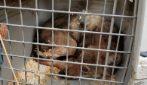 Parco Nazionale D'Abruzzo, giovane lupo trovato in pessime condizioni: cosa gli era accaduto