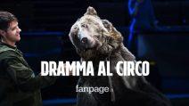 """Dramma al circo, orso sbrana domatore 28enne: """"Non l'ha riconosciuto, indossava la mascherina"""""""