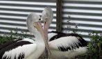 Hanno aspettato 6 anni e alla fine hanno avuto un pulcino: l'emozione della coppia di pellicani