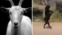 L'assurdo video della capra che cammina su due zampe