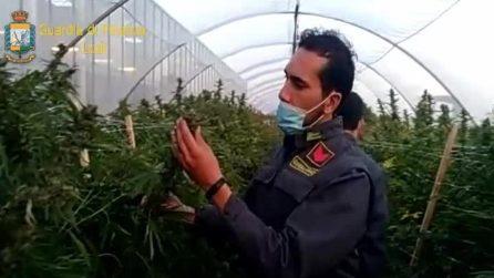 """Lodi, sequestrate oltre 115mila piante di marijuana: """"La più grande piantagione d'Italia"""""""