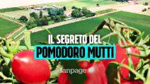Il segreto di un pomodoro dal gusto unico: la passione degli agricoltori Mutti