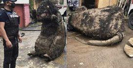 """""""Cadavere"""" di un topo a misura d'uomo ritrovato nelle fogne: poi si scopre di cosa si tratta"""