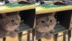 A scuola con il gatto: lo tiene con sé tutta la lezione e il micio non si muove