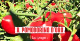 Un premio in denaro per i migliori agricoltori, così Mutti certifica la qualità dei suoi pomodori